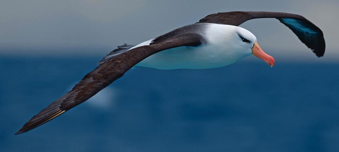 Using Scent Maps, Seabirds Navigate the Ocean