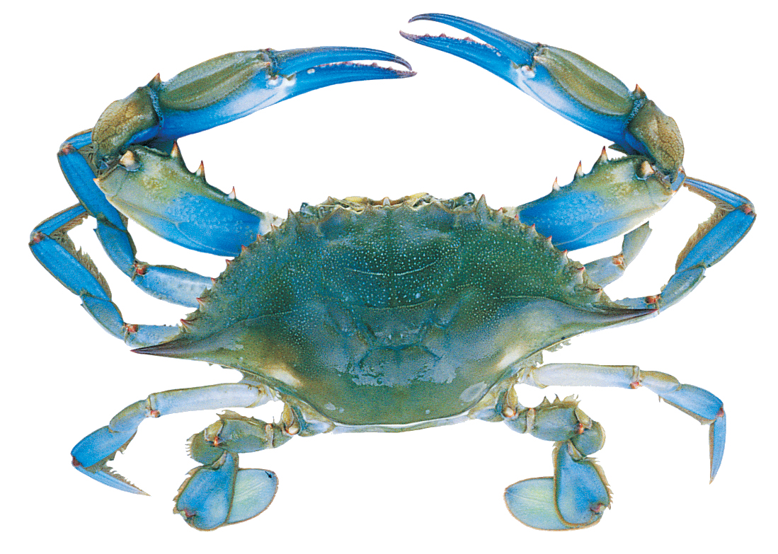 Maryland launches a campaign against illegal crab fishing ...