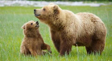 Pyrénées: 20 ans après sa réintroduction, ça gronde toujours contre l'ours