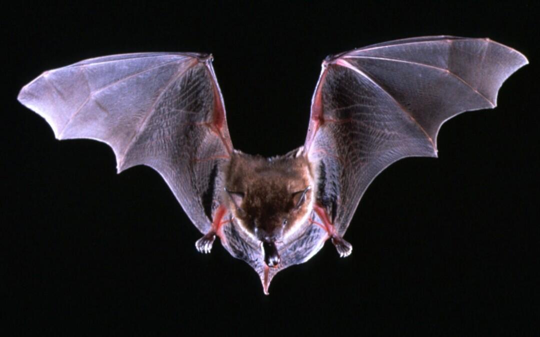 Murciélagos al volar aplican las leyes de la física de sonares