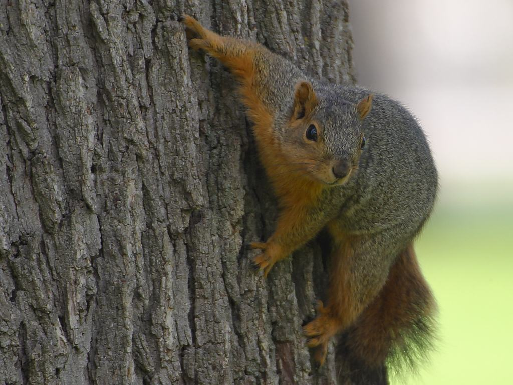 characteristics of the tree squirrel greenarea me
