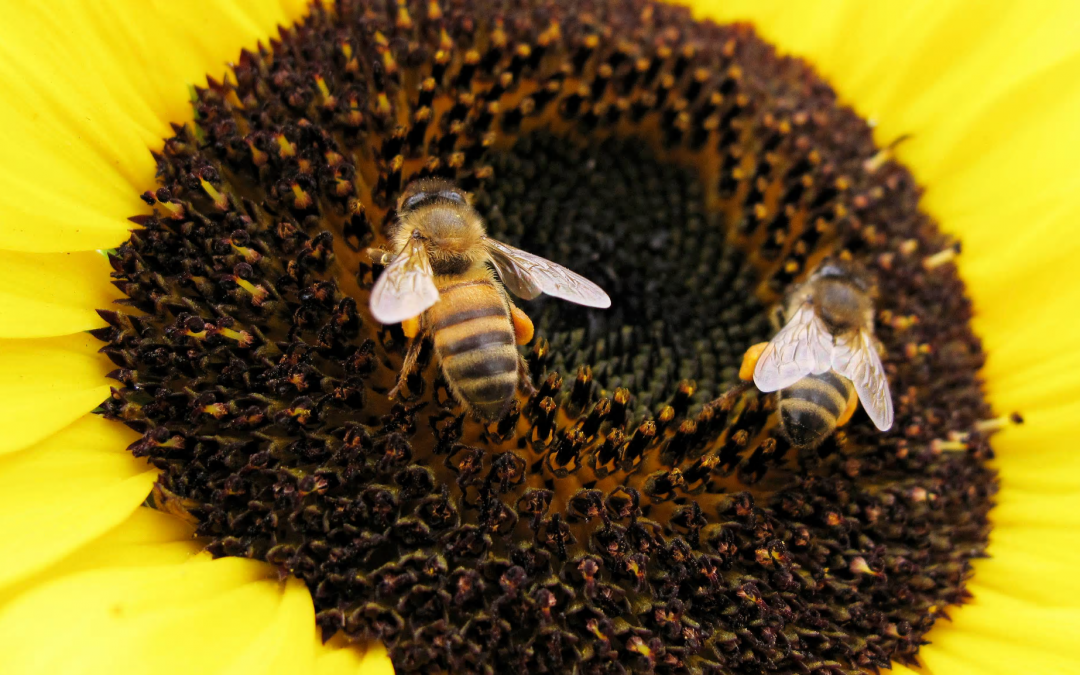 Decline of bees poses potential risks to major crops, says UN