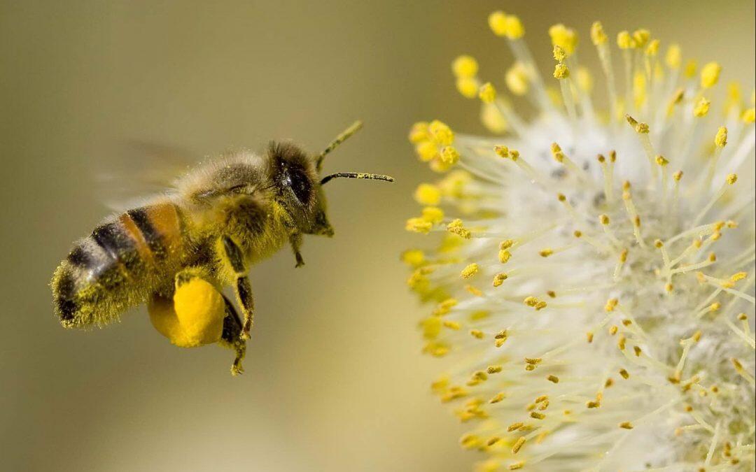 Malgré l'effet de mode, l'abeille des villes ne remplacera pas celle des champs