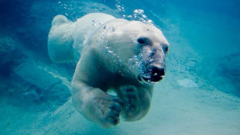Los osos polares nadan cada vez más por el deshielo del Ártico