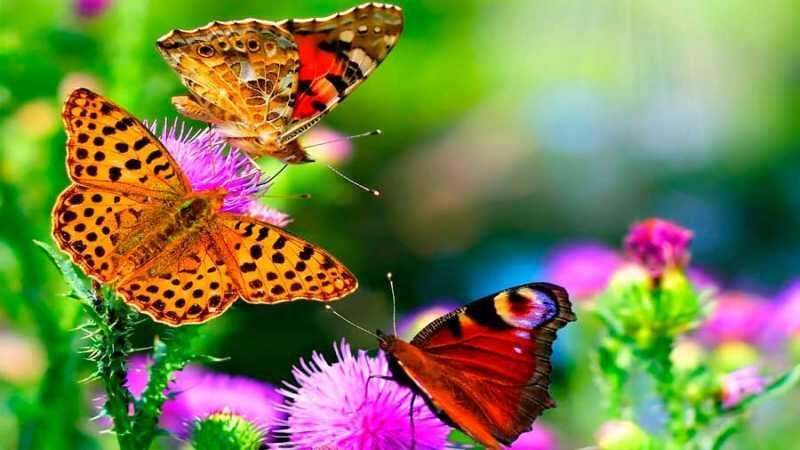 Un interruptor genético, clave para el colorido de las mariposas