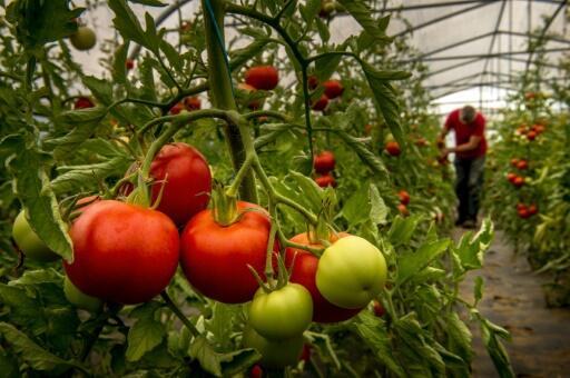 Le goût de la tomate, ça s'en va et ça revient
