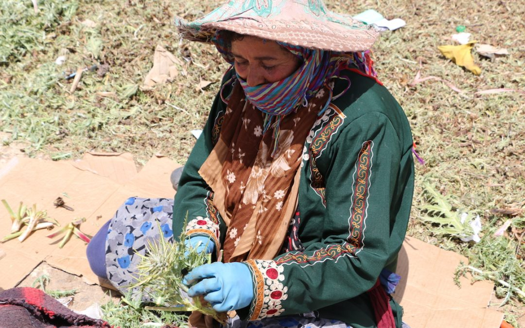 La cueillette de la Gundelia dévoile l'amertume du travail invisible des femmes