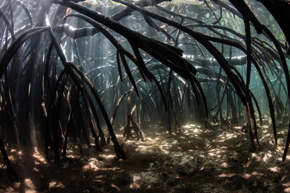 Le changement climatique responsable du dépérissement des mangroves en Australie