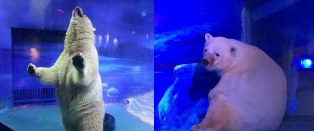 Pizza, the 'world's saddest' polar bear, lives in a shopping mall in China  - Rosie Daccache - GreenArea.me
