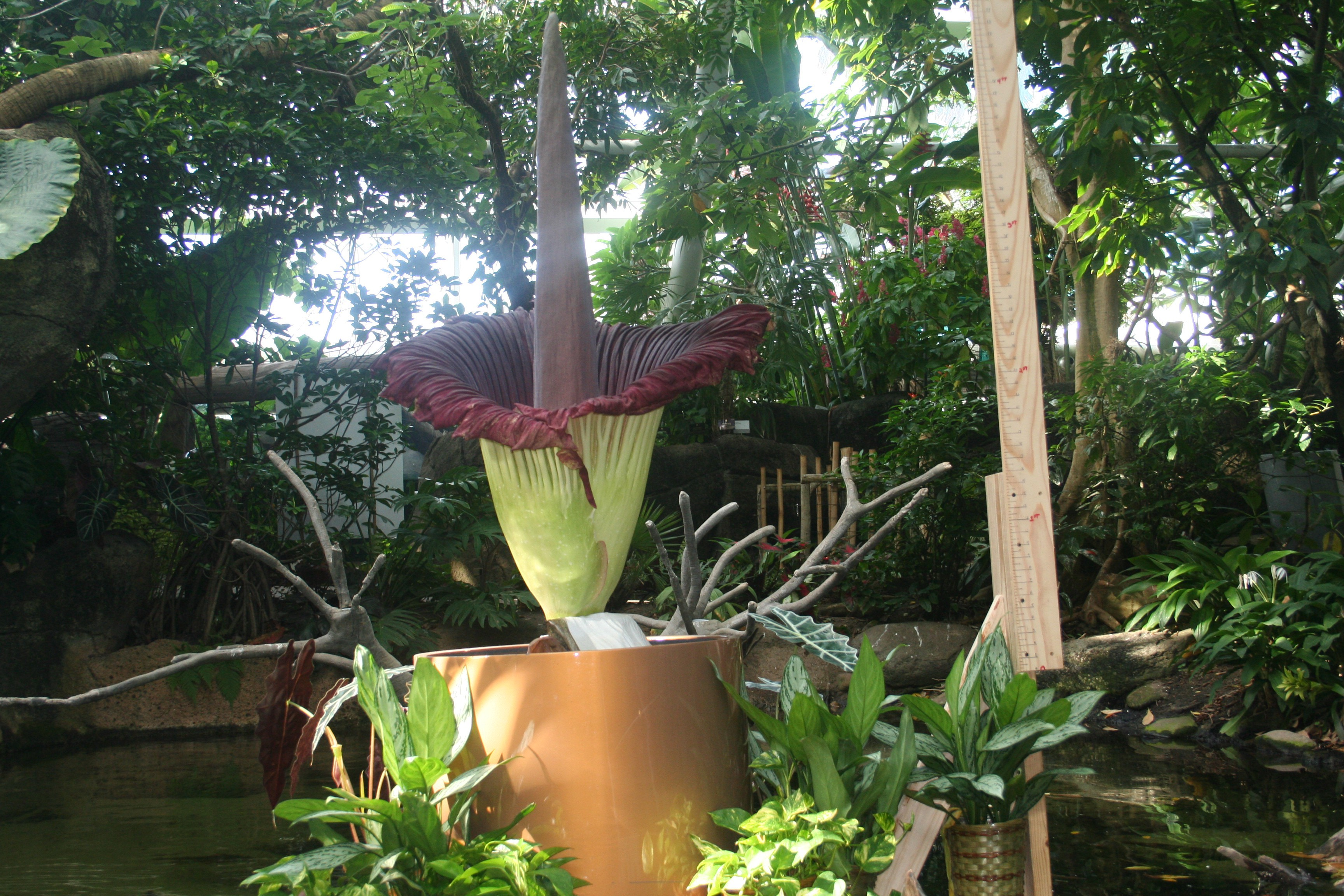 Corpse flowers sprout at the same time in several places coincidence Jean