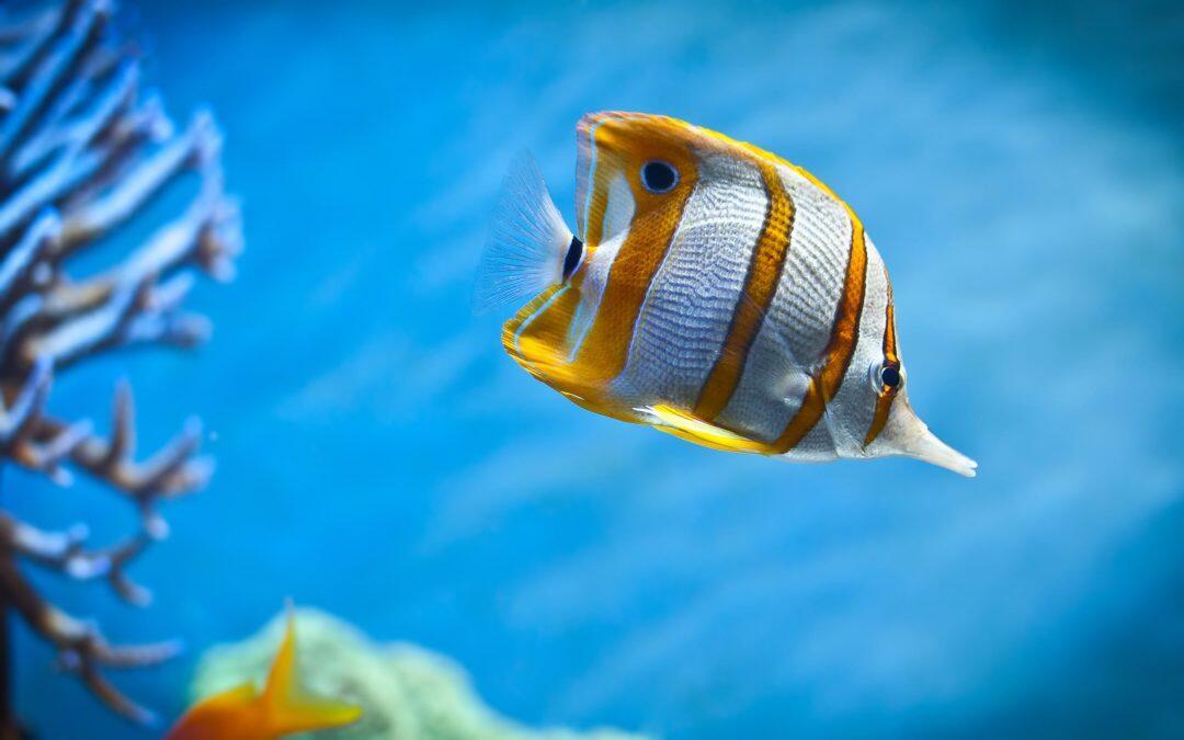 Les poissons Coral deviennent stressés si elles perdent du poids et sont séparés de leurs pairs