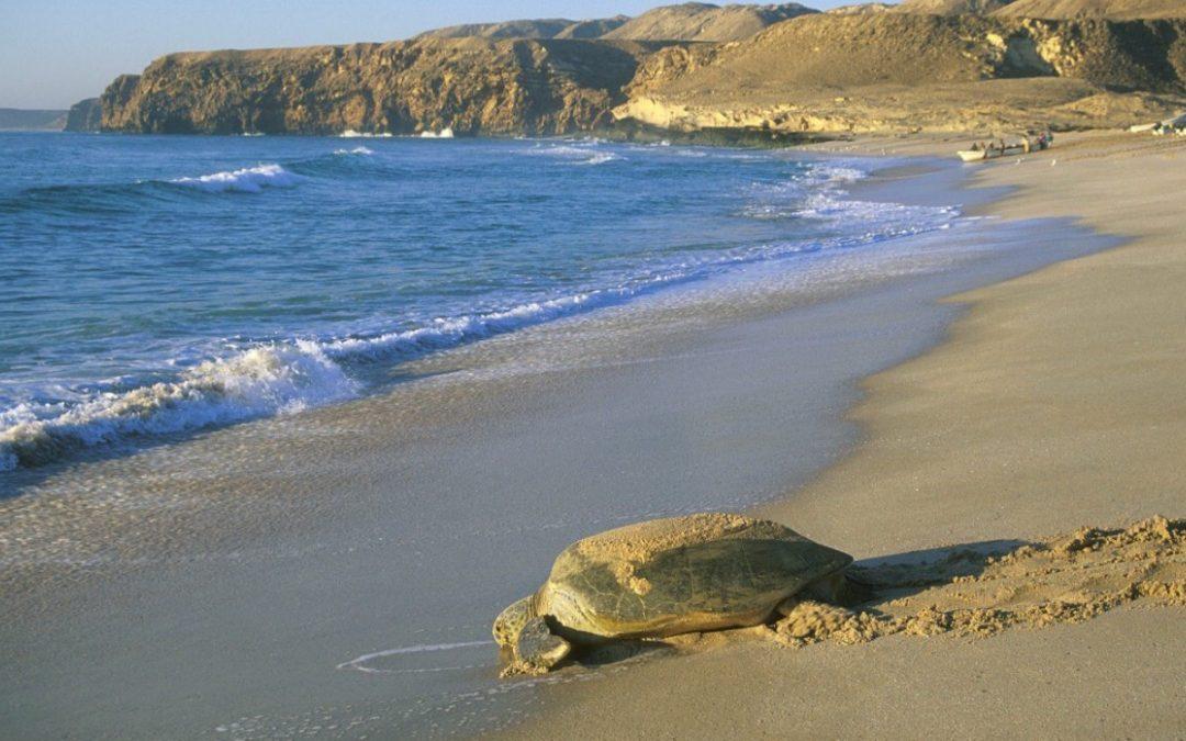 محمية رأس الحد للسلاحف البحرية… الحفاظ على الخصائص البيئية والطبيعية في سلطنة عُمان
