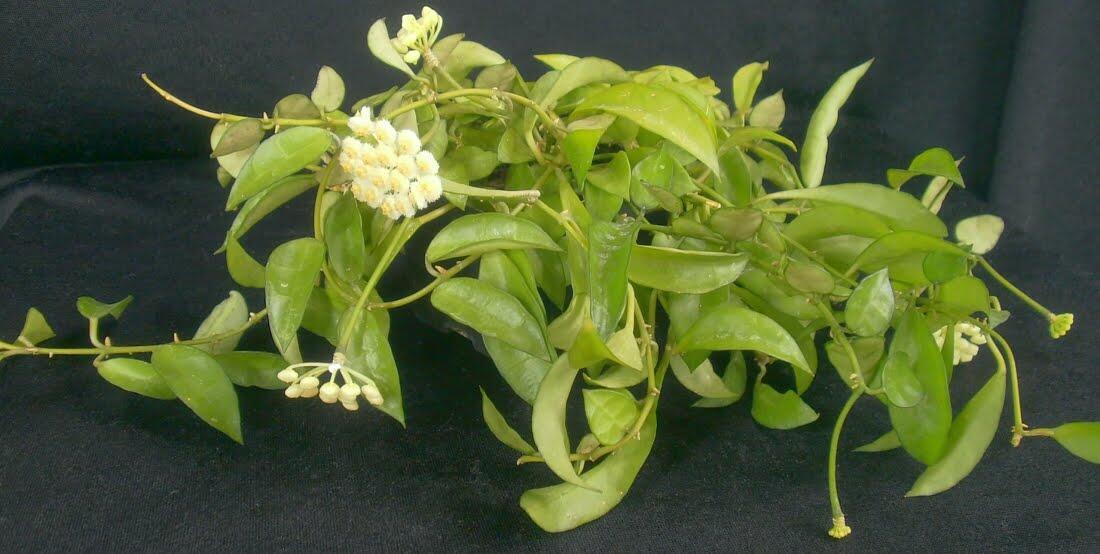Les plantes de maison Mythe ou vérité?