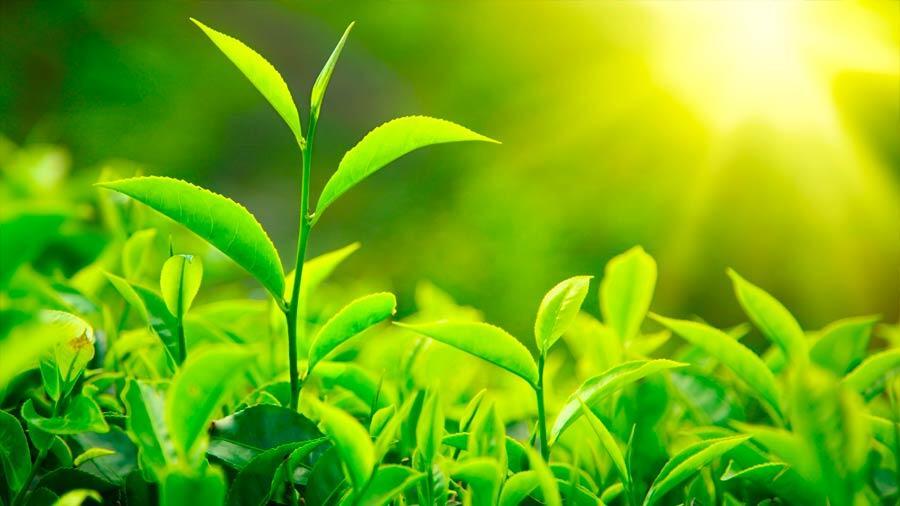Les scientifiques ont découvert la plante «thermomètre»