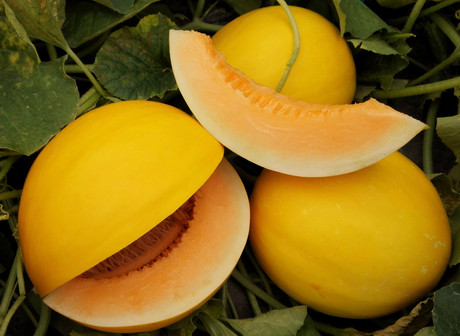 Italy: Azucan melons from Meridiem Seeds