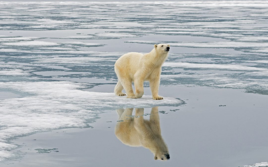 How Climate Change is Affecting Polar Bears