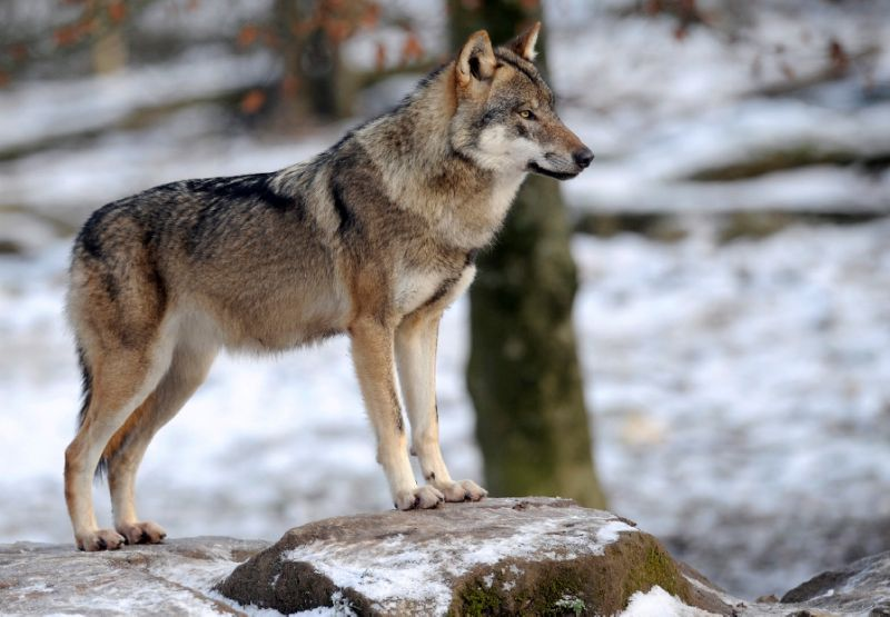 Sweden allows wolf hunt despite outcry