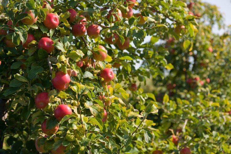 SweeTango apple rolls out across Europe