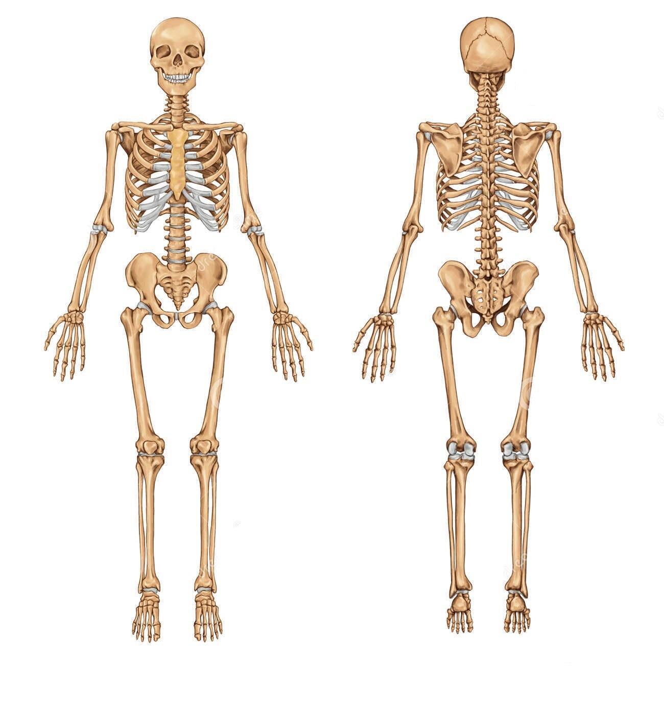 El hueso de un humano es tan fuerte como el granito . - GreenArea.me
