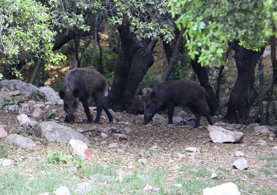 خنازير برية في محمية وادي الحجير