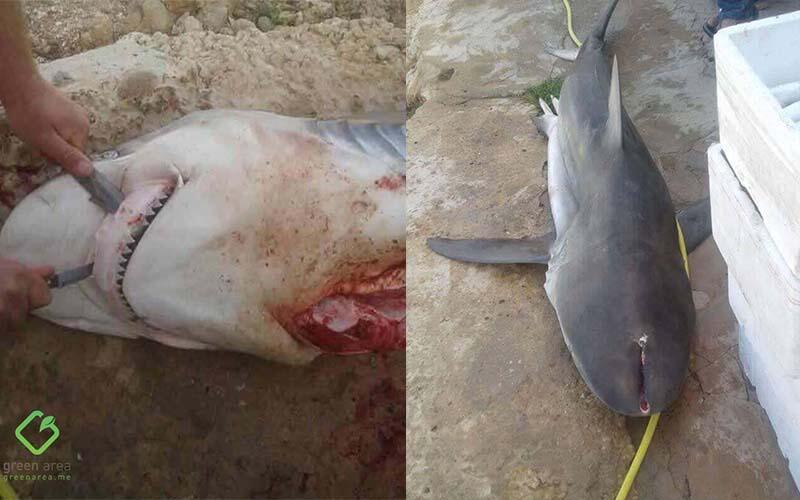 استباحة البحر مستمرة… قتل قرش ببندقية صيد بري في الناعمة!