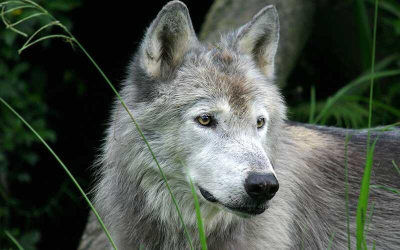 Nacen en cautiverio tres cachorros de lobo gris mexicano (Canis lupus), especie clasificada extinta