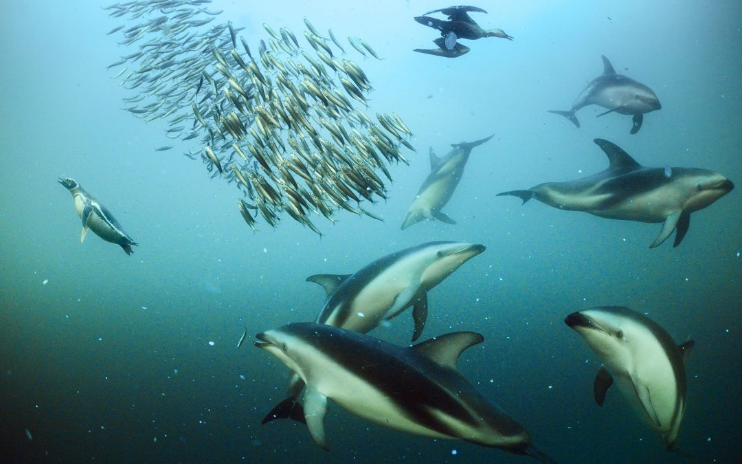 Delfines del Océano Índico padecen más que otros de  los grados de contaminación.
