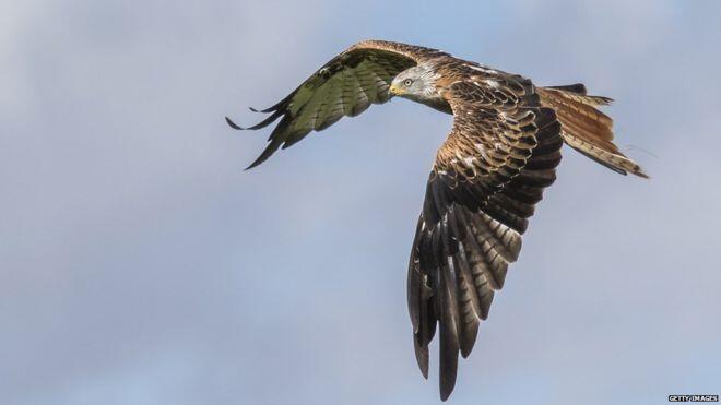 Un oiseau tiré du bord de l'extinction face à une menace d'empoisonnement