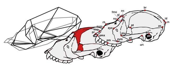 Un estudio con modelos geométricos analiza la peculiar anatomía ...