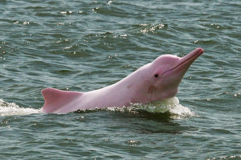 Saving the amazing pink dolphin of the Amazon