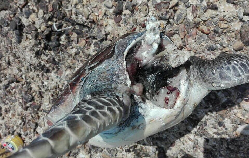 ذبح سلحفاة علقت بشباك صياد عند شاطىء البترون!