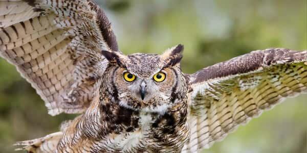 البومة: طائر كبير الحجم يبلغ طوله قرابة 68 سنتمتراً وامتداد جناحيه ما يقارب 174 سنتمتر