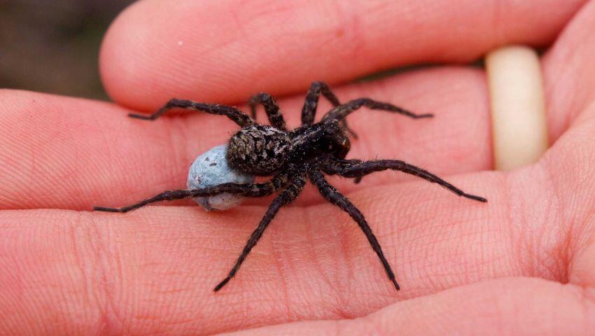 سم العناكب لعلاج الصرع؟
