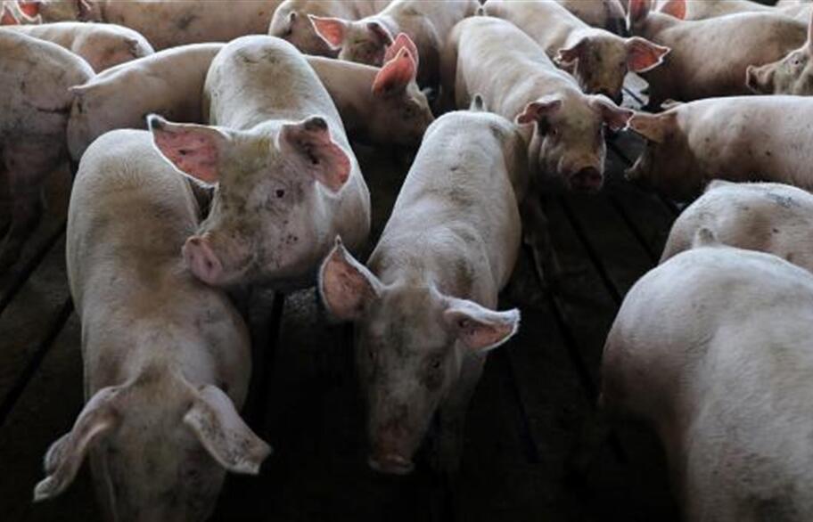 وزارة الزراعة الصينية تعلن نفوق 88 خنزيرا بسبب حمي الخنازير الأفريقية في جيانغسو