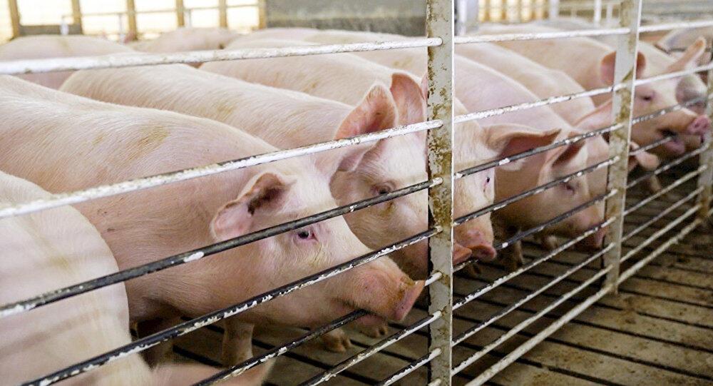 الصين تعلن عن تفش جديد لحمى الخنازير الأفريقية في منغوليا الداخلية