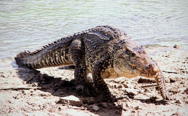 يعتبر التمساح الكوبي من أكثر أنواع التماسيح المهددة بالانقراض في العالم، حيث يبلغ عدد هذا الصنف 4000 تمساح فقط