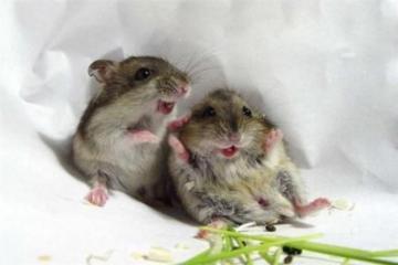 لاحظ عالم النفس جاك بانكسيب في تسعينيات القرن العشرين أن الفئران أيضاً تضحك إذا قام أحد بدغدغتها أي أن الضحك ليس فقط سمة بشرية بل توجد في الحيوانات أيضاً