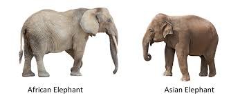 هناك العديد من الاختلافات بين الفيل الآسيوي والإفريقي حيث إنّ الفيل الإفريقي أكبر حجماً ويمتلك عدد ضلوع أكثر في القفص الصدري من الفيل الآسيوي، ولكنّهما يشتركان بصفات عامّة كثيرة