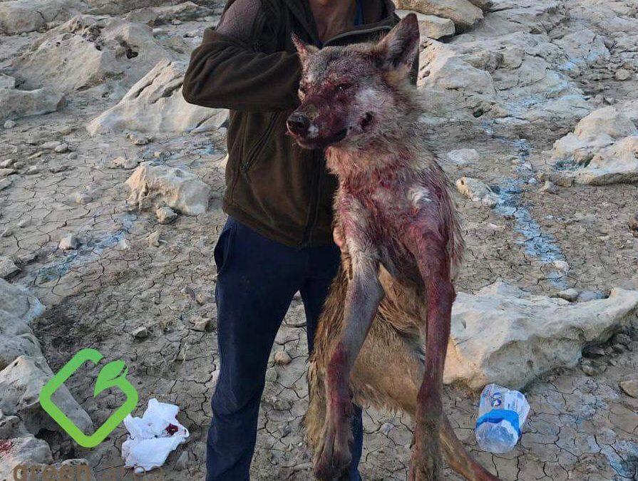 """قتل ذئب في القرعون و""""غرين ايريا الدولية"""" تتقدم بشكوى!"""