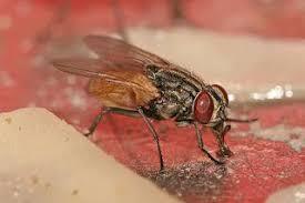 تعد الذبابة  أخطر كائن حي على الأرض وذلك بسبب قدرتها على نقل النفايات والملوثات