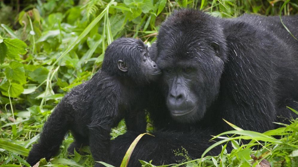 Nace en Valencia una cría de gorila occidental en peligro crítico de extinción