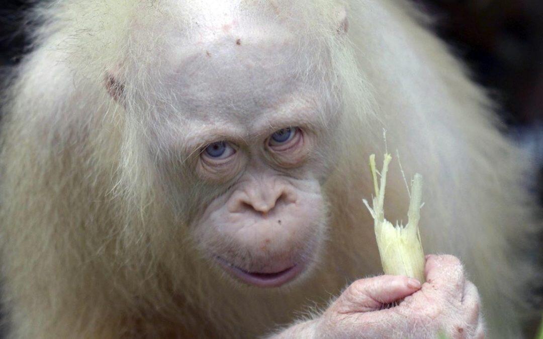 La única orangután albina en el mundo regresó a la naturaleza después de 20 meses de rehabilitación.