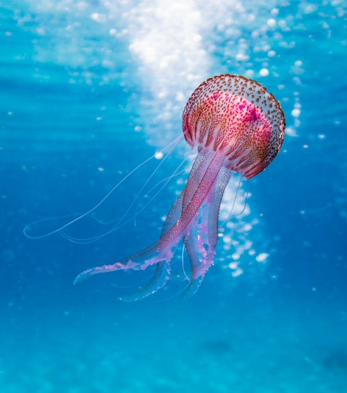 México: científicos hallan sustancia en medusas que podría ser utilizada para combatir el cáncer