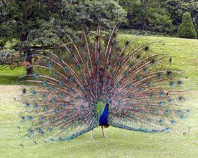 ذيل الطاووس متعدد الألوان يبهر الإنسان ويخدع الحيوان