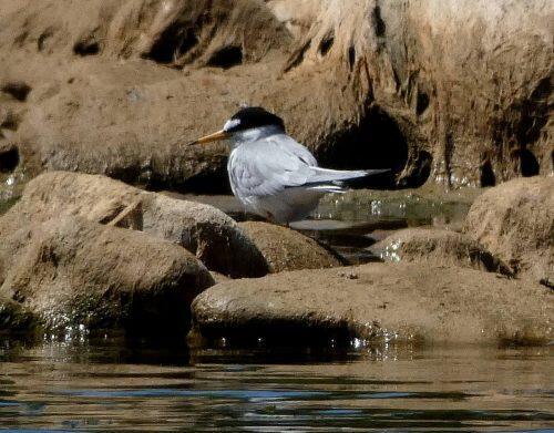 Charrancito en el Parque de la Expo río Ebro 01.05.17 Enrique Pelayo