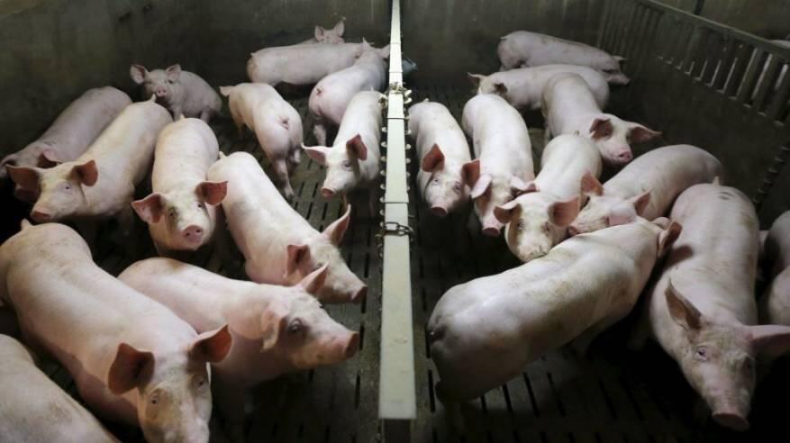 الصين تعدم أكثر من 900 ألف خنزير بسبب حمى الخنازير الأفريقية