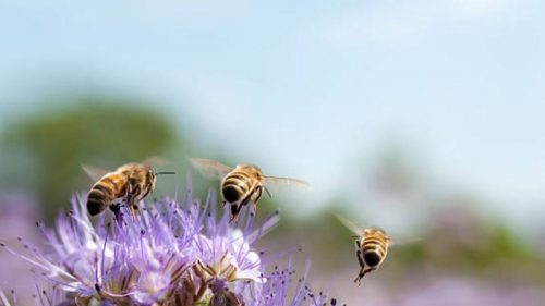 1539030532-abejas-istock-8