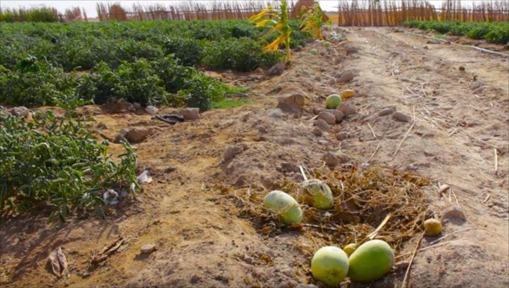 الزراعة الأكثر تضرّرًا بفعل كوارث الجفاف