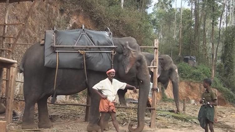 نفوق أكبر فيل آسيوي معمر