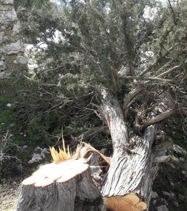 قطع اشجار لزاب في خراج مشمش عكار من قبل مجهولين